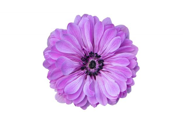 Duży purpura kwiat odizolowywający na białym tle