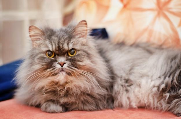 Duży puszysty szary kot