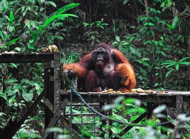 Duży samiec orangutana w malezji