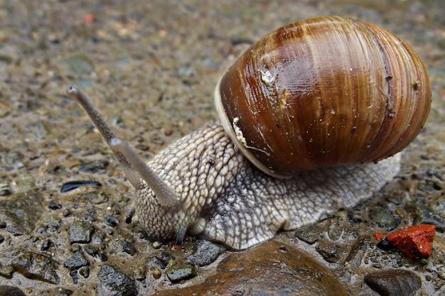 Duży ślimak na mokro po kamieniach deszczu