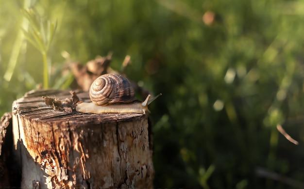 Duży ślimak w muszli pełzający po pniu wiosenny poranek w ogrodzie