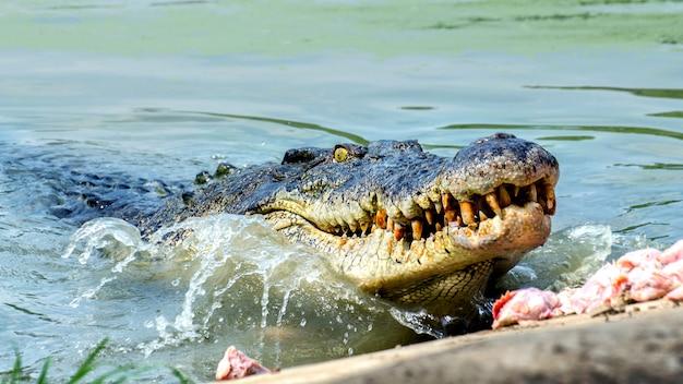Duży słodkowodny krokodyl jedzenie żywności