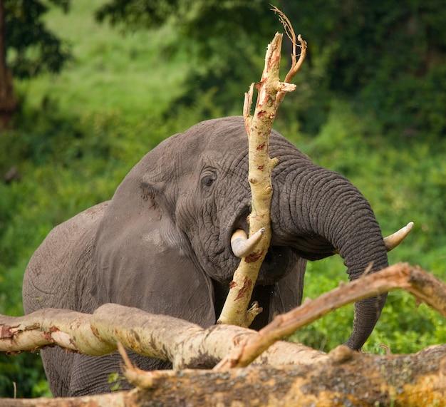 Duży słoń łamie drzewo.