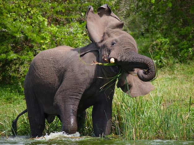Duży słoń stoi w wodzie i jest zły.