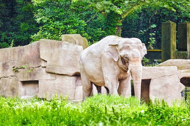 Duży słoń w ich naturalnym środowisku na wolności.