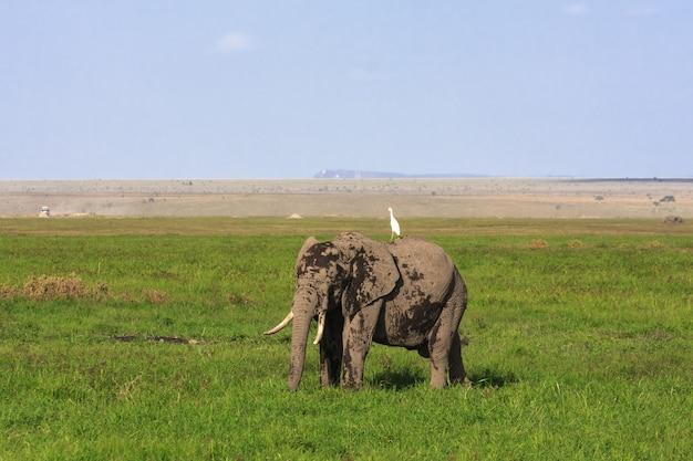 Duży słoń w sawannie