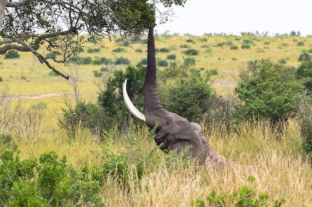 Duży słoń zjada liście z drzewa