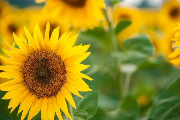 Duży słonecznik w polach
