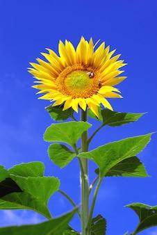Duży słonecznik