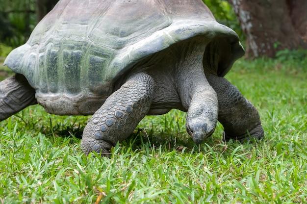 Duży stary żółw afrykański w trawie