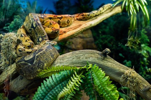 Duży wąż boa dusiciel na gałęzi drzewa w dżungli. pyton wężowy w siedlisku