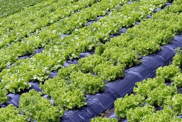 Duży widok plantacji sałaty