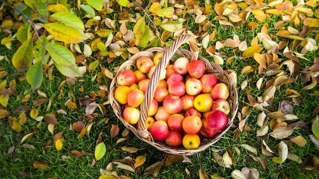 Duży wiklinowy kosz pełen czerwonych jabłek na ziemi pokrytej liśćmi