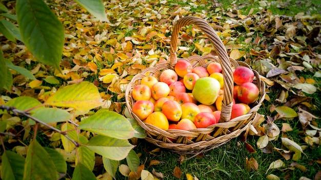 Duży wiklinowy kosz pełen dojrzałych jabłek na ziemi pokrytej żółtymi jesiennymi liśćmi