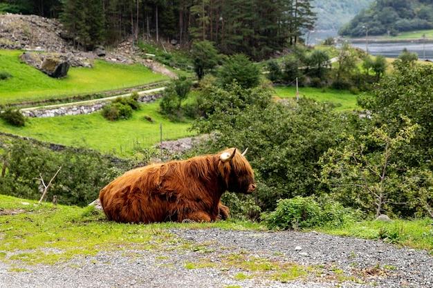 Duży wół piżmowy w swoim siedlisku, naturalny krajobraz w tle. norweskie zwierzę