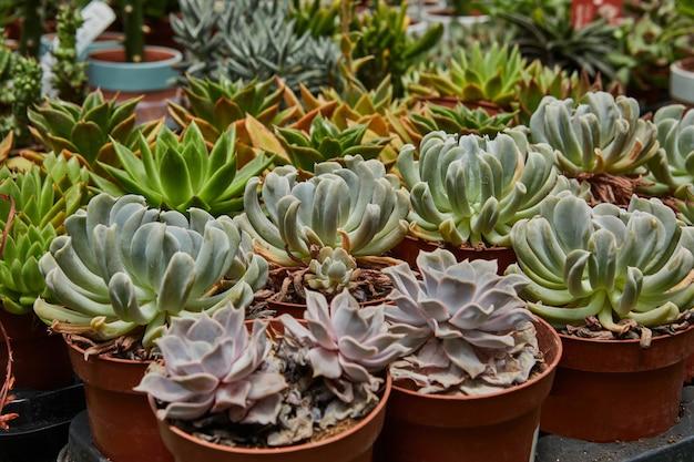 Duży wybór zielonych i fioletowych sukulentów rosnących w doniczkach.