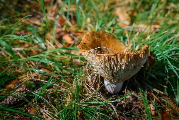 Duży zarośnięty grzyb w trawie