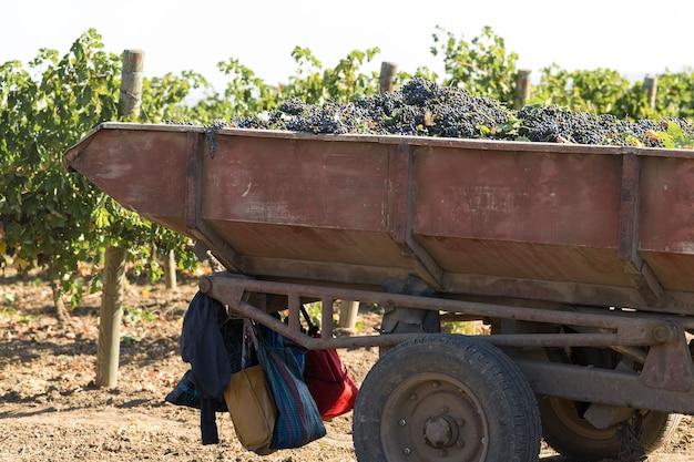 Duży zbiornik magazynowy pełen winogron do tłoczenia. tradycyjna stara technika produkcji wina.