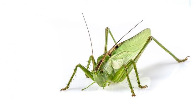 Duży zielony konik polny
