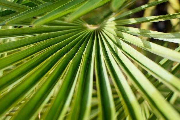 Duży zielony liść palmy z rodziny sabal minor. naturalna tropikalna powierzchnia, zbliżenie.