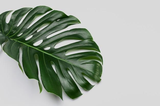 Duży zielony liść rośliny monstera