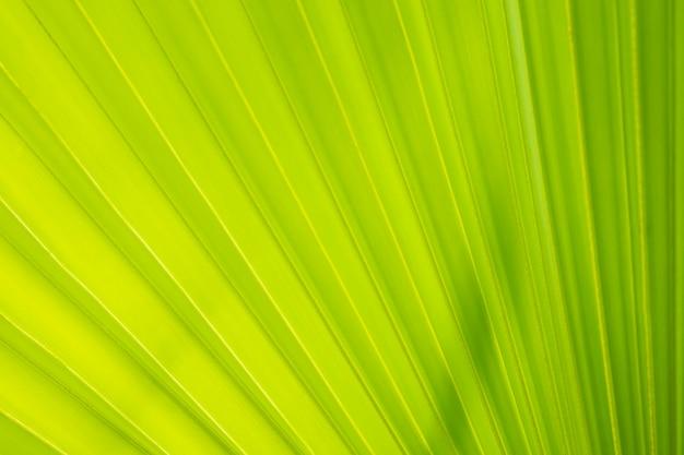 Duży zielony liść z bliska tekstury aby dodać urody i zjeść w tajlandii jest ich wiele