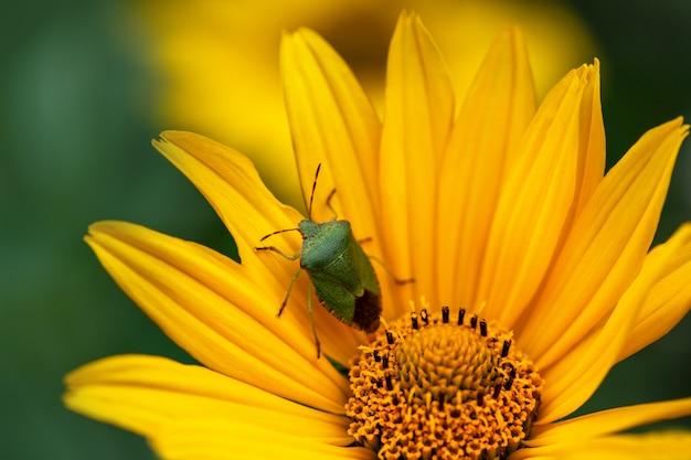 Duży zielony pluskwa, pluskwa siedzi na żółtym kwiacie w ogrodzie.