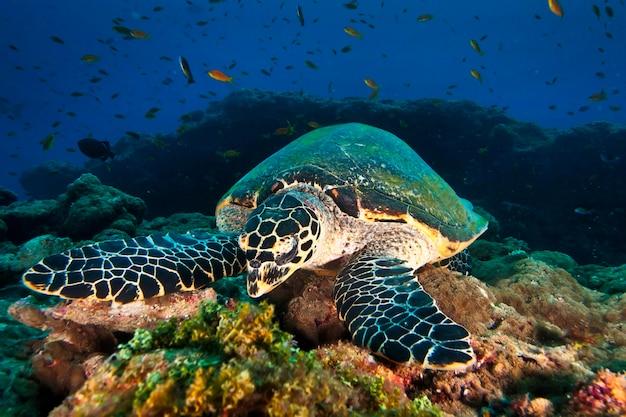 Duży zielony żółw morski pływający wśród kolorowej rafy koralowej w ciemnej, czystej wodzie. życie morskie pod wodą w błękitnym oceanie. obserwacja świata zwierząt. przygoda z nurkowaniem na karaibach, wybrzeże kuby