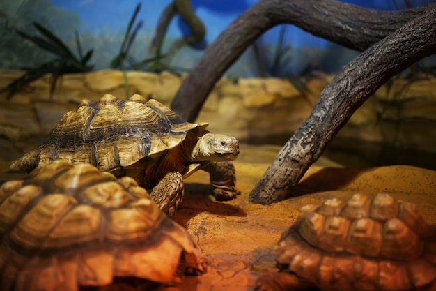 Duży żółw bagienny siedzi w terrarium