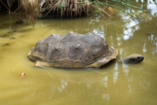 Duży żółw seszeli w bagnie z bliska szczegółów
