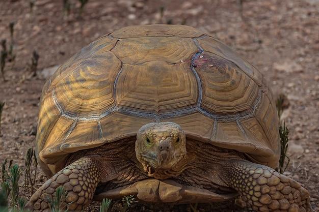 Duży żółw słoniowy szybko idzie do przodu.