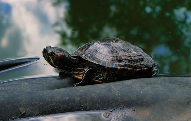 Duży żółw w wodzie latem