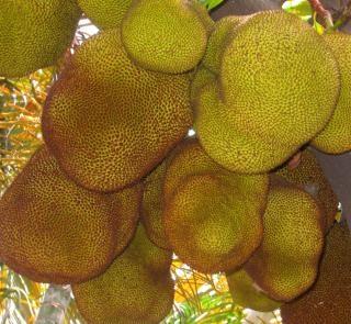 Dużych jackfruit