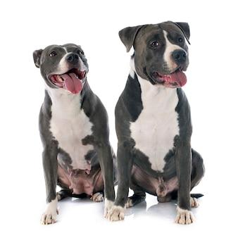 Dwa amerykańskie staffordshire terrierw