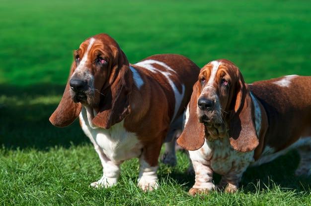 Dwa basset pies na zielonej trawie