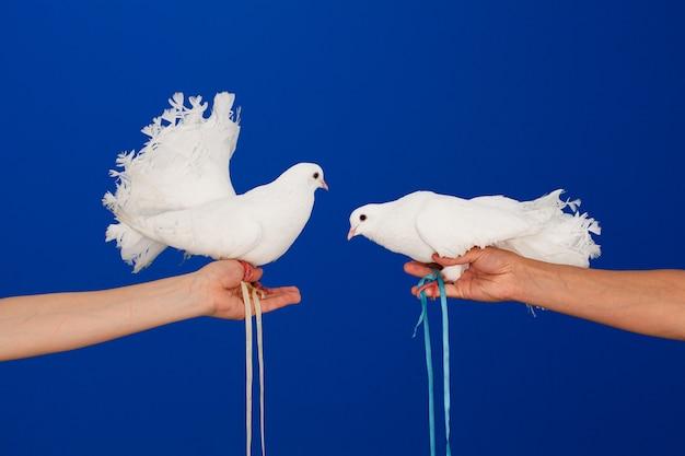 Dwa białe gołębie w ręku na niebieskiej ścianie