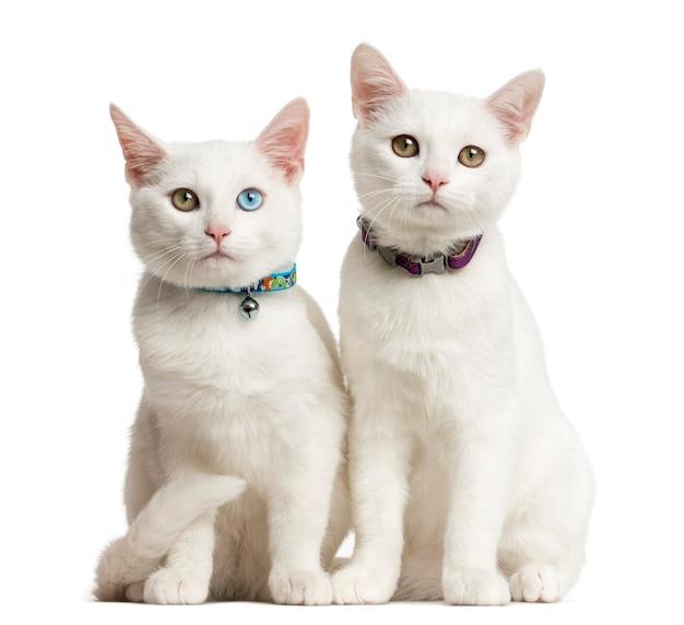 Dwa białe kocięta siedzące przed białą ścianą