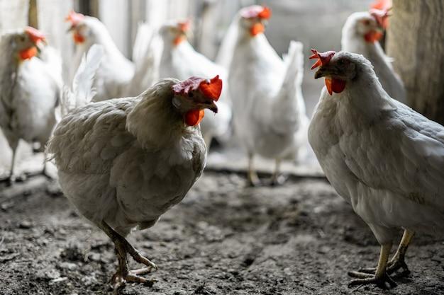 Dwa białe kurczaki stoją na tle stada kurczaków przy wyjściu z kurnika. gospodarstwo rolne
