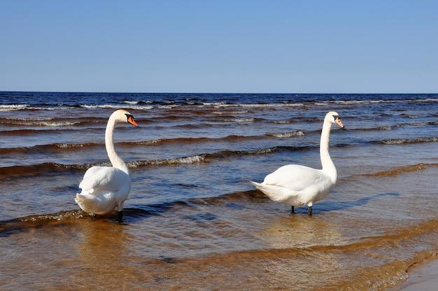Dwa białe łabędzie na pięknym morzu