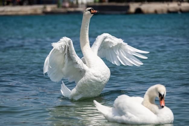 Dwa białe łabędzie na zbliżeniu stawu. łabędź trzepocze wielkimi skrzydłami i próbuje wystartować. romantyczne białe ptaki.