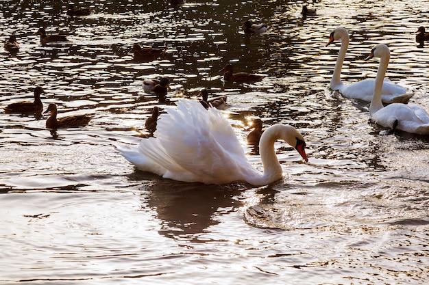 Dwa białe łabędzie pływają wodę w parku białe łabędzie pływające rzeki