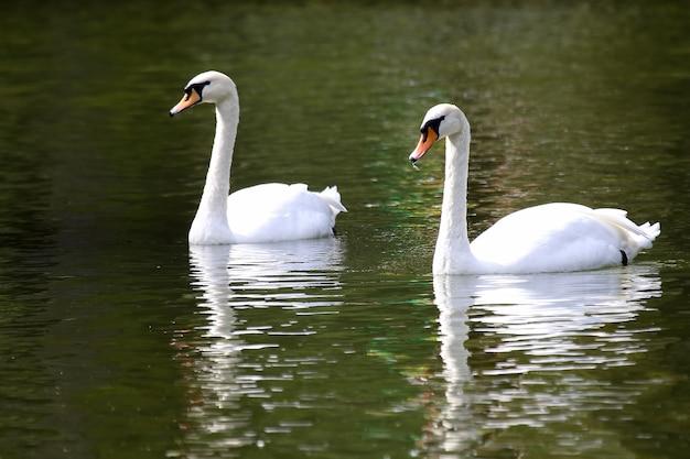 Dwa białe łabędzie pływające w stawie