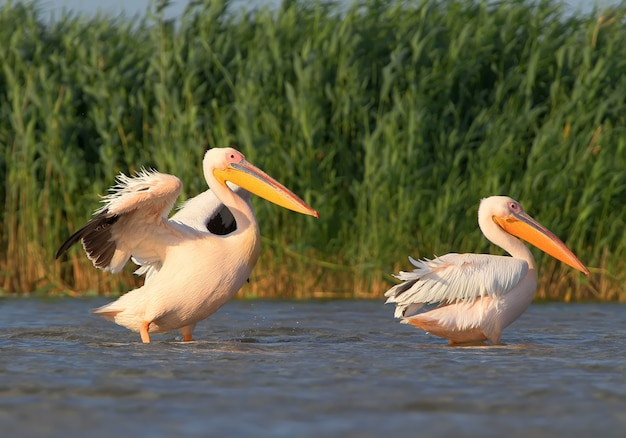 Dwa białe pelikany z otwartymi skrzydłami suszy pióra na wietrze