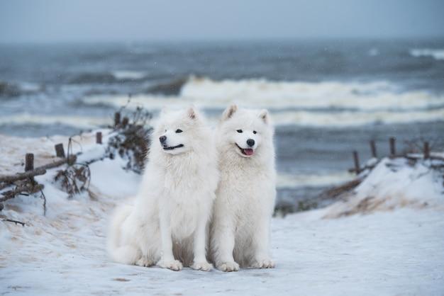 Dwa białe samojedy są na śniegu carnikova na plaży morza bałtyckiego na łotwie