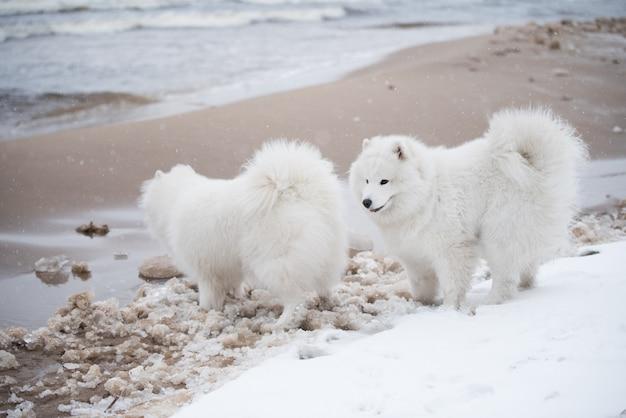 Dwa białe samojedy są na śnieżnej plaży carnikova na łotwie