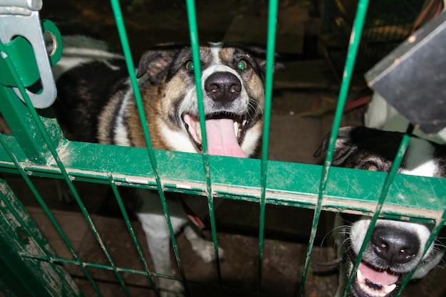 Dwa biało-brązowe psy za zieloną metalową kratą wybiegu w schronisku, wesołe kagańce z wystawionymi językami.