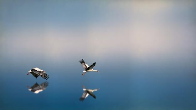 Dwa biało-czarne ptaki lecące nad wodą odbijając się