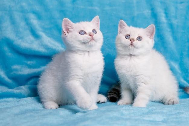 Dwa biały kotek