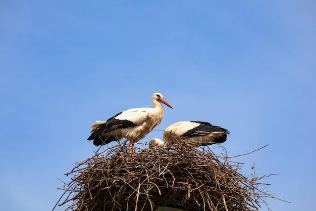 Dwa bociany siedzą w gnieździe