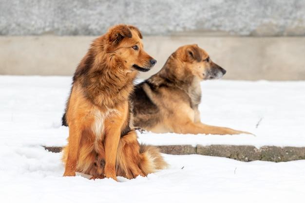 Dwa brązowe duże psy zimą na śniegu, psy pilnują farmy